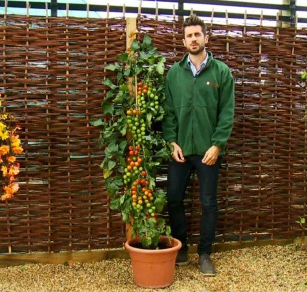 Planta TomTato